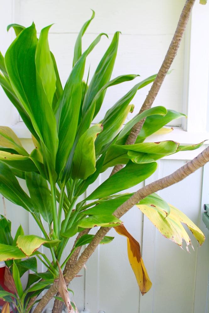 Hawaiian Ti leaf
